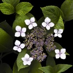 Hydrangea in Spring