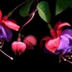 Fuchsia #4