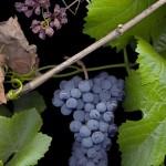 Pinot Noir #2