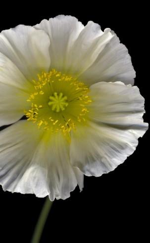 Poppy #7