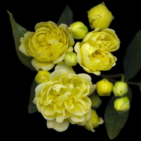 Lady Banksia